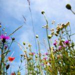 meadow leaflet